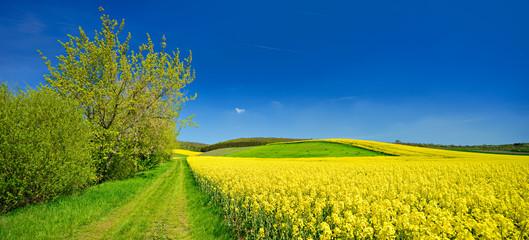 Fototapeta Kulturlandschaft im Frühling, blühendes Rapsfeld, Feldweg, blauer Himmel
