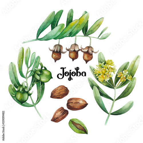 Watercolor jojoba plant Canvas-taulu