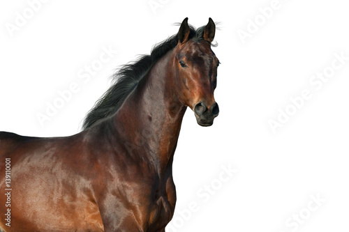 Bay horse portrait isolated on white background Poster