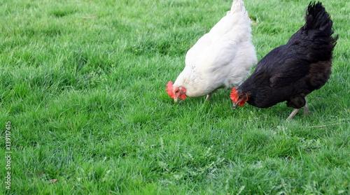 La pose en embrasure Poules poules en train de picorer de l'herbe dans un champs, agriculture