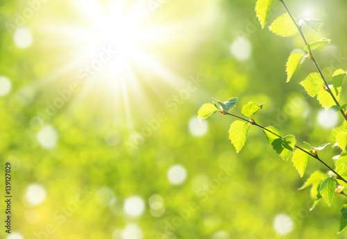 Spring natural background with young  birch branches in the sun