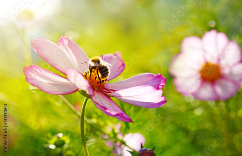 Fotografie, Obraz  Bee working on white cosmos flower.