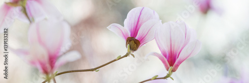 Photo Stands Magnolia Magnolia flowers spring blossom