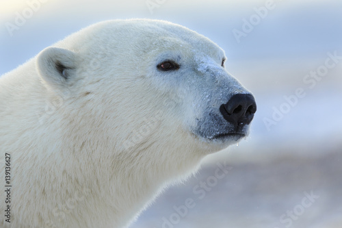 Tuinposter Ijsbeer Polar Bear closeup head shot