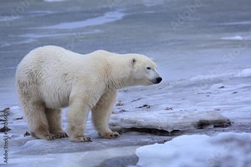 Staande foto Ijsbeer Polar bear standing on broken sea ice