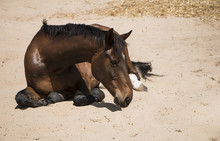 Horse Rolling In Sand
