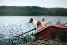 Jack Russell On The Nature Of The Summer In The Green