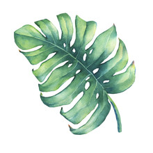 Big Tropical Green Leaf Of Monstera Plant. Hand Drawn Watercolor Painting.