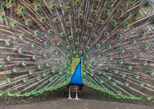 Closeup Portrait Of Beautiful Peacock