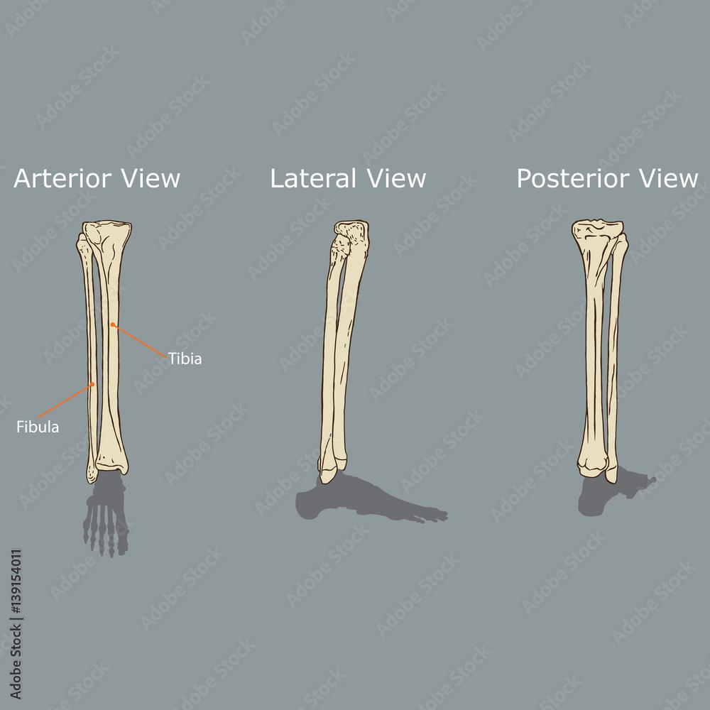 Fibula And Tibia Anatomy Vector Foto Poster Wandbilder Bei Europosters