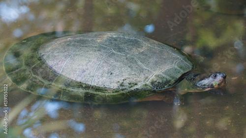 Obraz na płótnie Turtle w rzece, biorąc głowę z wody. Nazwy zwyczajowe: Charapa. Nazwa naukowa: Podocnemis unifilis