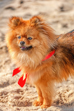 The Spitz,dog,doggy Is Staying On The Sand With Red Bow And Looking In Your Direction