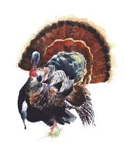Turkey Bird Watercolor Paintin...