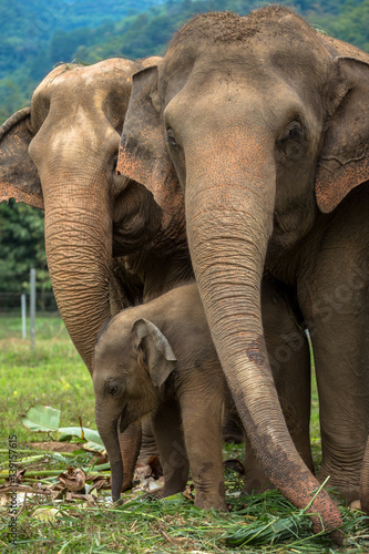 Photo  Three elephants in nature park - Chiang Mai, Thailand