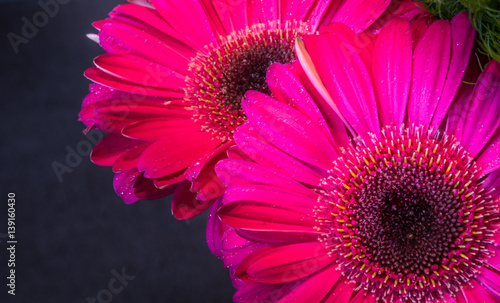 Photo Closeup of two beautiful fresh pink gerbera daisies in the dark background