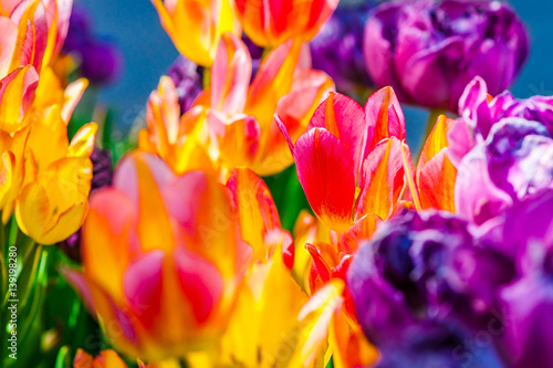 Poster Printemps Colorful tulip flowers in spring season