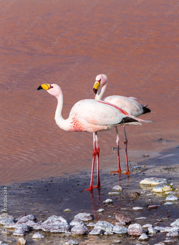 Pink flamingoes at laguna Colorada, Bolivia