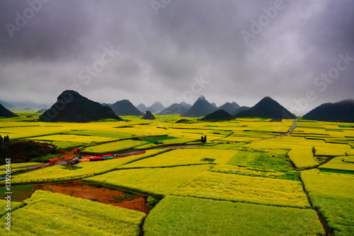 Canola field, rapeseed flower field with the mist in Luoping, China