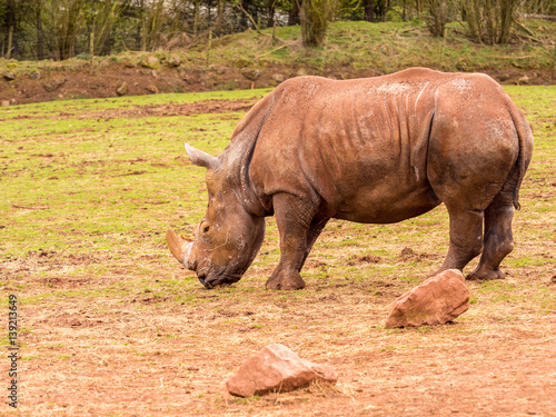 Spoed Foto op Canvas Neushoorn Dalton-in Furness, Cumbria, UK. 19th April 2015. Rhinoceros in grounds at South lakes safari park, Dalton-in-furness, Cumbria, UK