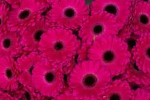 Różowe Gerbery