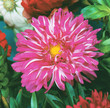 Pink Dahlia flower in garden full bloom