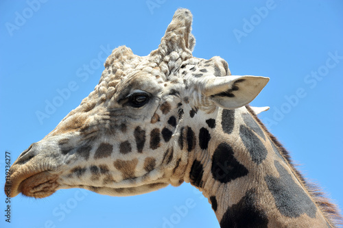 Photo  Giraffe against blue sky in Out Of Africa Wildlife Park