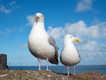 Two Seagulls In St. Ives, Corn...