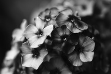 Black White Photo Beautiful Phlox Violet Flowers. Noisy Film Camera Effect. Soft Focus, Shallow Depth Of Field