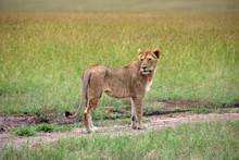 Female Lion Walking Along A Pa...