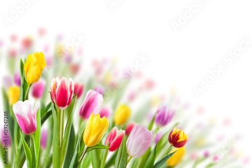 Foto op Plexiglas Tulp Spring Background with Tulip