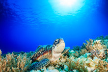 Sea Turtle Looking Up From A Coral Reef With Sunbeams Behind