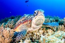 Grumpy Green Turtle
