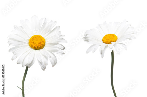 Foto op Canvas Madeliefjes Beautiful white daisy flowers. Floral wallpaper.