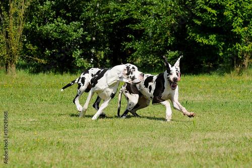 Fototapeta Two Great Dane purebred dogs obraz