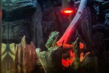 Iguana Sits On Stump In Terrar...
