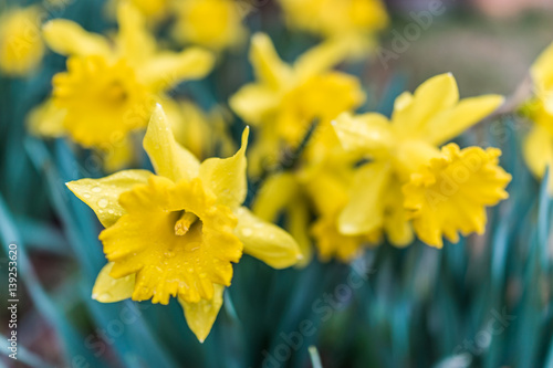 In de dag Narcis Many open yellow daffodil flowers with water drops