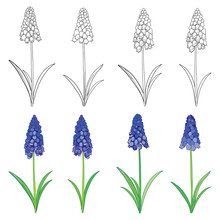 Vector Set With Outline Blue Muscari Or Grape Hyacinth Flowers And Green Leaves Isolated On White. Ornate Floral Elements For Spring Design Or Coloring Book. Set With Muscari Flower In Contour Style.
