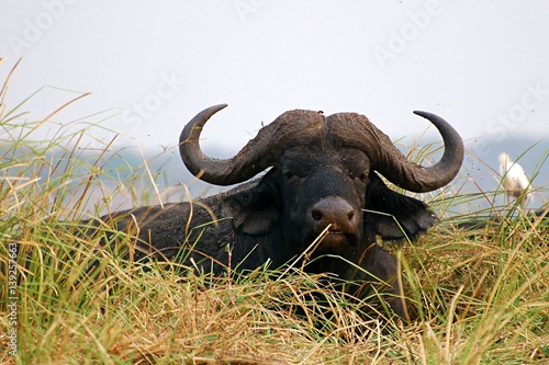 Keuken foto achterwand Buffel Wonderful Buffalo in the Chobe National Park in Botswana
