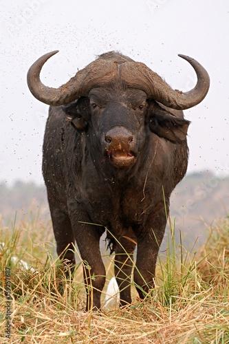 Staande foto Buffel Amazing Buffalo in the Chobe National Park in Botswana