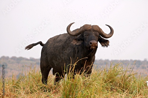 In de dag Buffel Buffalo in the Chobe National Park in Botswana