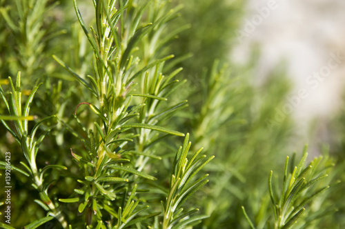 Fotografie, Obraz  Rosemary camphor wild plant (Rosemarinus officinalis)