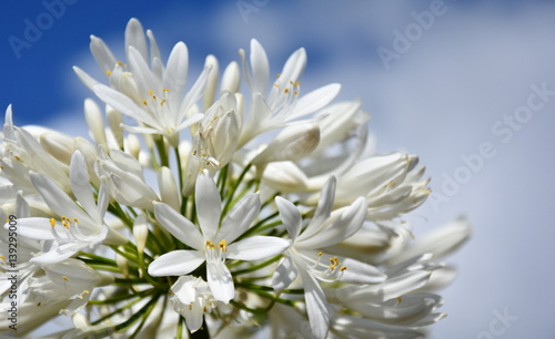 Closeup photo of Lily of the Nile, also called African White Lily flower (Agapanthus Africanus) in Australia Wallpaper Mural