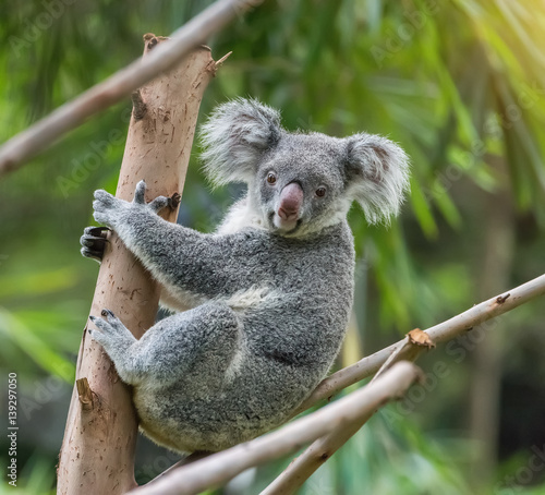 Foto op Canvas Koala koala on tree sunlight on a branch