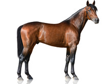 The Brown Thoroughbred Stallio...