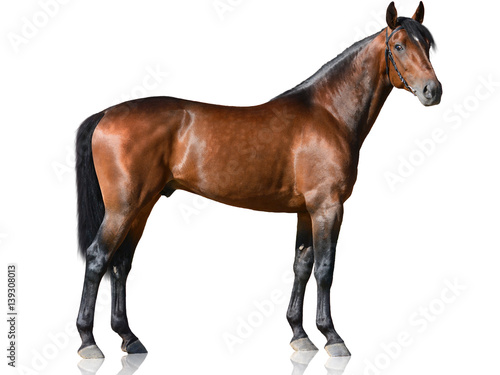 Photo  The brown thoroughbred stallion standing isolated on white background side view