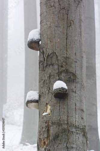 Fotografia, Obraz  Snowy polypore on a tree trunk.