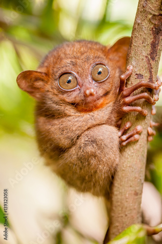Staande foto Aap Tarsier monkey in natural environment