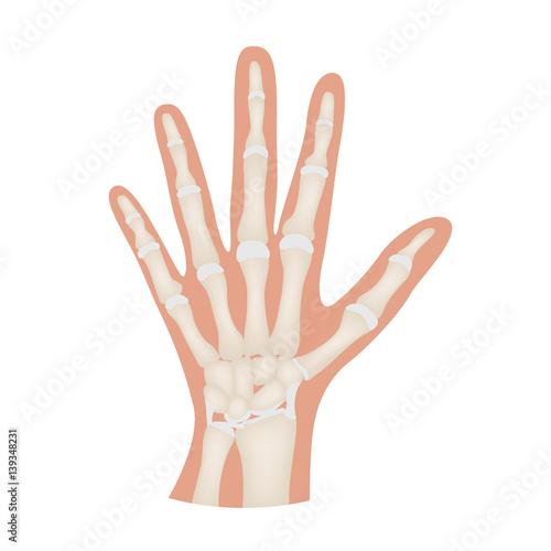 hand bone anatomy vector - Buy this stock vector and explore similar ...