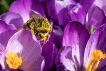 Pollen Covered Bumblebee