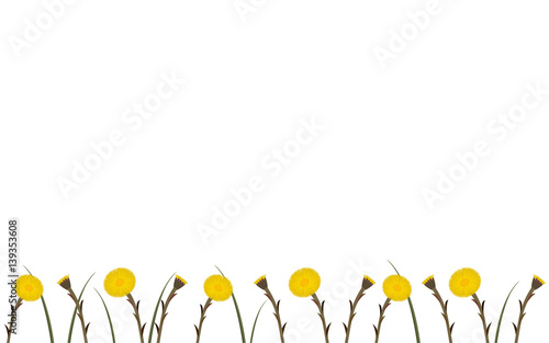 Valokuva  Wallpaper coltsfoot in springtime, vector